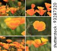 mixed collage pictures of oranges California poppies - stock photo