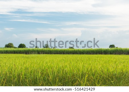 Mixed farming rice paddy with sugar cane, Rice and Sugar cane plantaion area