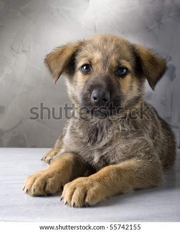 mixed German Shepherd puppy on gray background - stock photo