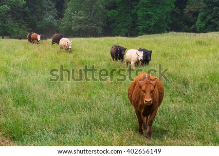Mixed herd of cows in the green field  - stock photo