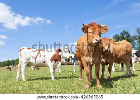 Mixed herd of Holstein dairy and Limousin beef cattle in a sunny pasture with both red and black and white  Holstein cows.