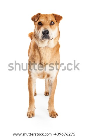 Mixed large breed yellow dog standing on white looking forward