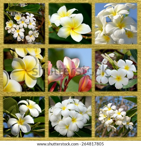 Mixed Plumeria spp. (frangipani flowers, Frangipani, Pagoda tree or Temple tree) on wood background. - stock photo