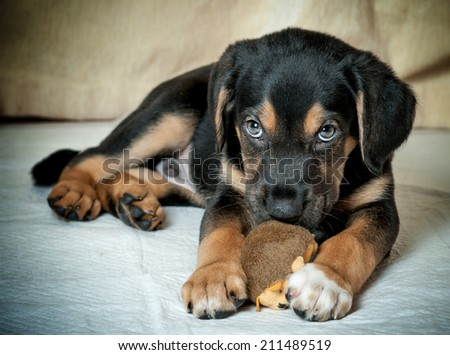 mixed rottweiler puppy chewing toy - stock photo