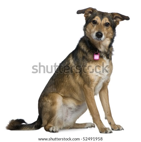 Mixed Shepherd dog, 3 years old, sitting in front of white background - stock photo