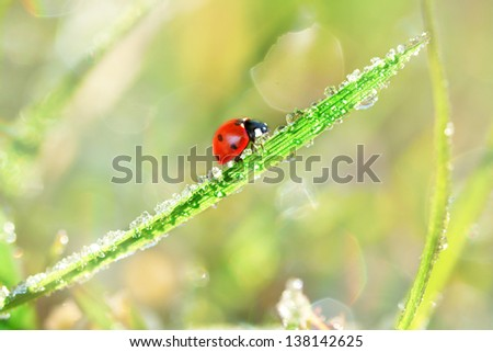 mixture of frost and water drops on blade of grass, with a red ladybug, heart  shaped spot, macro in early morning light - stock photo