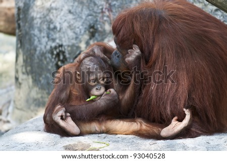 MMother Orangutan Pampers her cute lilttle baby - stock photo