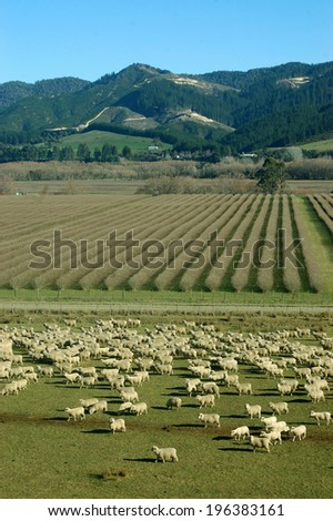 mob of sheep on a farm in Marlborough, South Island, New Zealand - stock photo