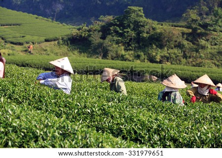 Mocchau highland, Vietnam: Farmers colectting tea leaves in a field of green tea hill on Otc 25, 2015. Tea is a traditional drink in Asia
