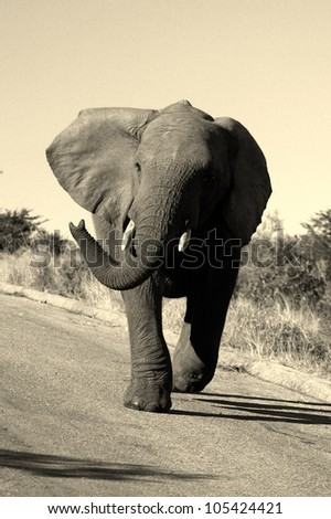 Mock Charging young male bull elephant. Black and white conversion.Taken in Addo elephant national park,eastern cape,south africa - stock photo