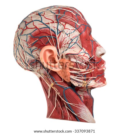 occipitofrontalis stock photos, royalty-free images & vectors, Human Body