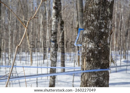 Modern plastic tap attached to a maple tree to collect sap - stock photo