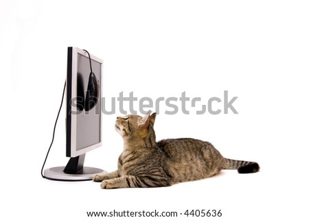 Modern silver monitor on reflective surface and home cat, isolated on white