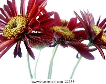Modern style gerber daisies. - stock photo