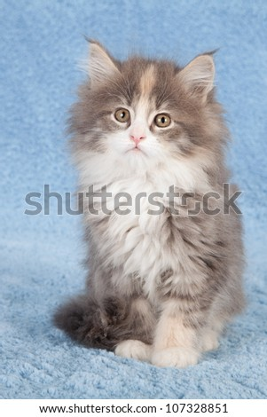 Moggie kitten sitting on blue faux fur background - stock photo