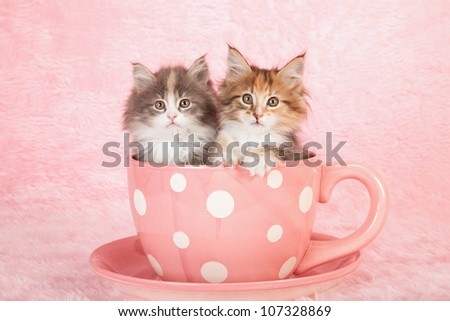 Moggie kittens sitting in large pink polka dot cup with saucer on pink background - stock photo