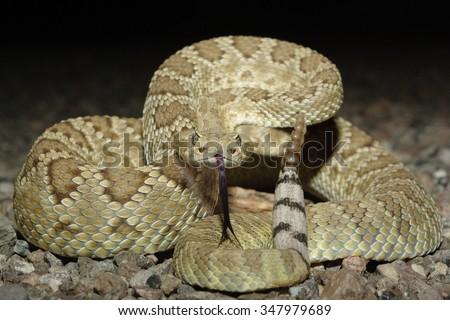 Mohave Rattlesnake - stock photo