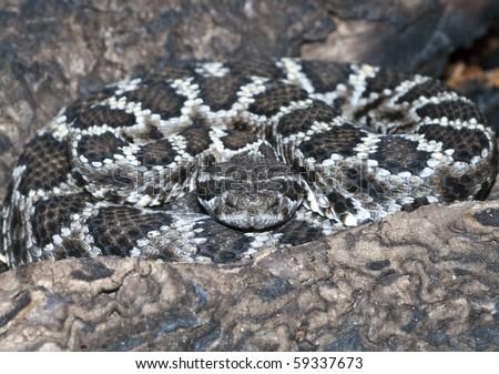 Mohave Rattlesnake Crotalus scutulatus - stock photo