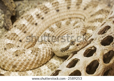 Mojave Desert Sidewinder  Crotalus cerastes cerastes  Native to south-central California south and east of the Sierras south to roughly the San Bernardino county line. Ranges east through Nevada - stock photo