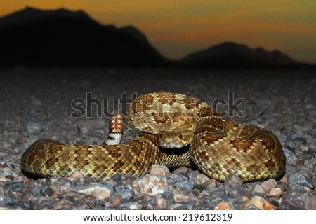Mojave Rattlesnake (Crotalus scutulatus) coiled to strike with the setting sun in the background. The Mojave Rattlesnake is considered by many to be the most deadly snake in the United States. - stock photo