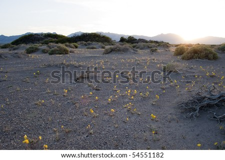 Mojave Suncup, Camissonia brevipes, Bloom in Death Valley National Park - stock photo