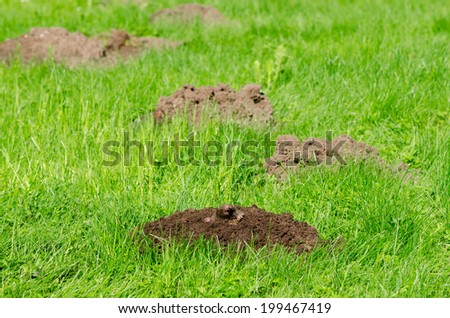 Mole hills on lawn grass and animal head in soil. Enemy for beautiful lawn.  - stock photo