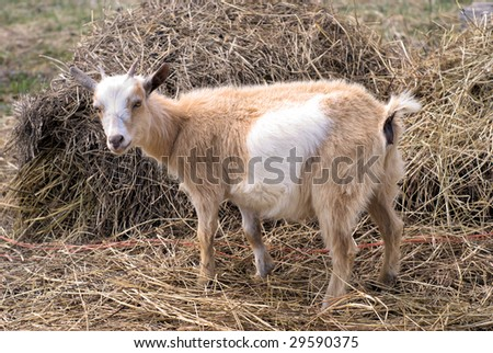 Molly goat in the hay - stock photo
