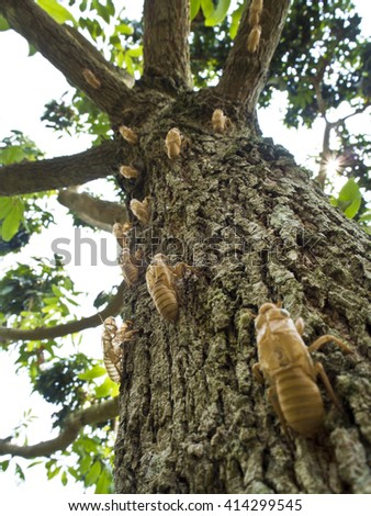 Molt of Cicada on tree bark