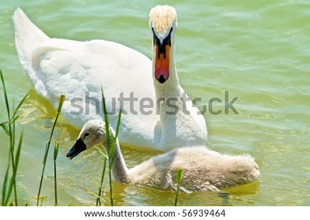 Mom and baby swan - stock photo