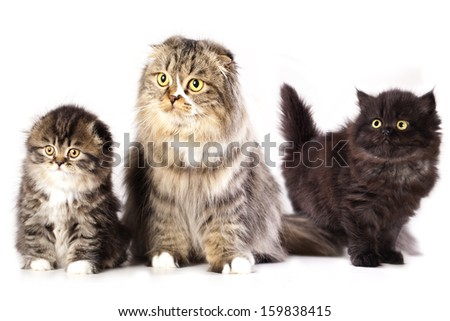 mom and pap breed Scottish Fold kittens - stock photo