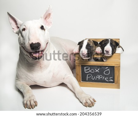 Mom bull terrier and her puppies - stock photo