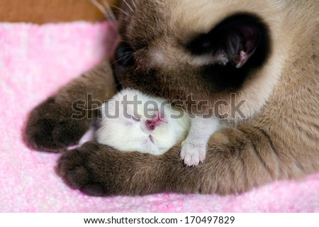 Mom cat hugging her newborn kitten - stock photo
