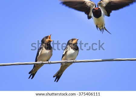 mom swallow flies past the Chicks on the wires in anticipation of food - stock photo