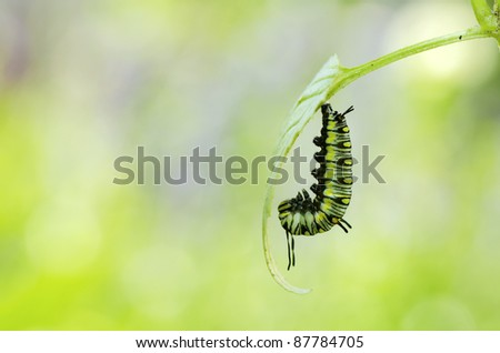 moment before caterpillar turning to pupa - stock photo