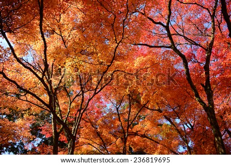 Momiji, Japanese maple in autumn season, Kyoto Japan. - stock photo