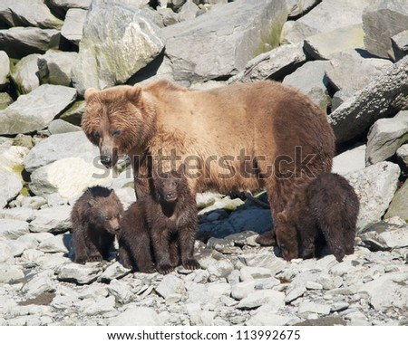momma grizzly with three cubs - stock photo
