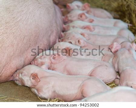 Momma pig feeding baby pigs - stock photo