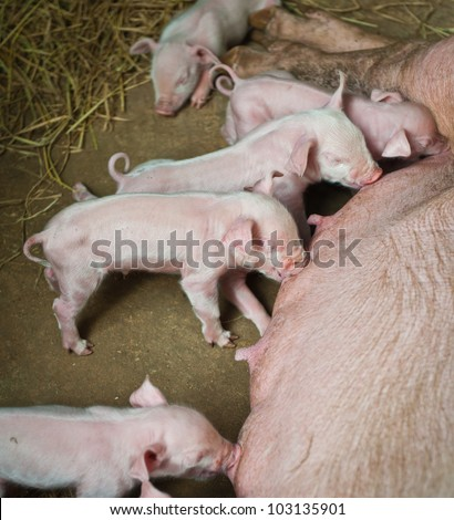 Momma pig feeding hungry little piglet