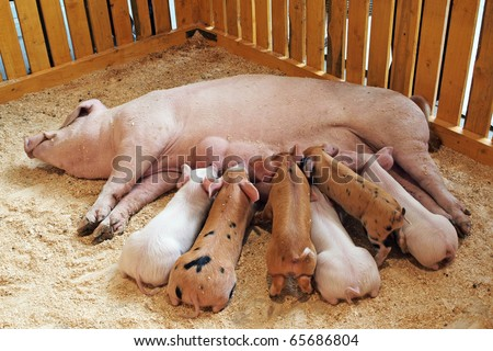 Momma pig feeding hungry little piglets - stock photo