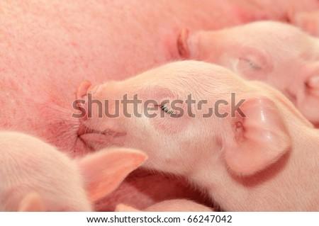 Momma pig feeding the kids. - stock photo