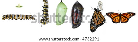Monach Caterpillar life cycle - stock photo