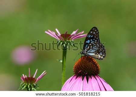 Monarch Blue butterfly with pink flower in the garden