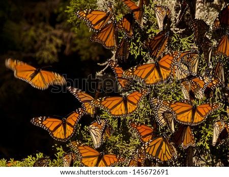Monarch Butterflies - stock photo