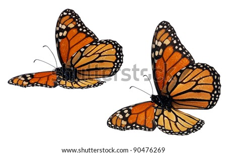 Monarch butterflies, flying positions, underside - stock photo