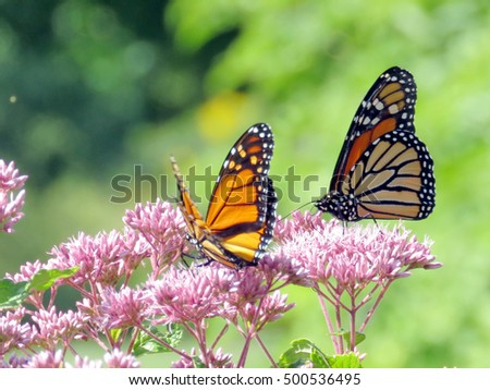 Monarch Butterflies In Garden On Bank Of The Lake Ontario In Toronto,  Canada, September