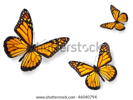 Monarch Butterflies Isolated on White Flying towards center of frame - stock photo