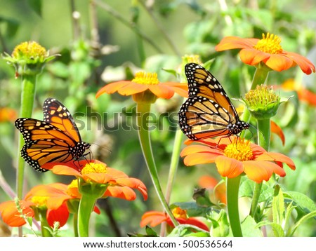 Monarch Butterflies On A Flowers In Garden On Bank Of The Lake Ontario In  Toronto,