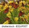 Monarch butterflies on yellow flowers - stock photo