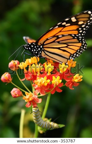 Monarch Butterfly and caterpillar on milkweed - stock photo