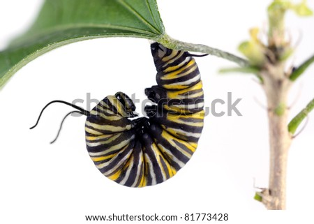 Monarch Butterfly Caterpillar on white - stock photo